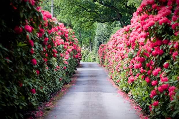 Лучшая живая изгородь для вашего сада — стена из роз