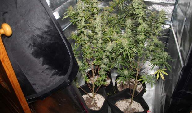 ВКачканаре мужчина посадил 25 кустов марихуаны вкомнате своей квартиры ибыл пойман