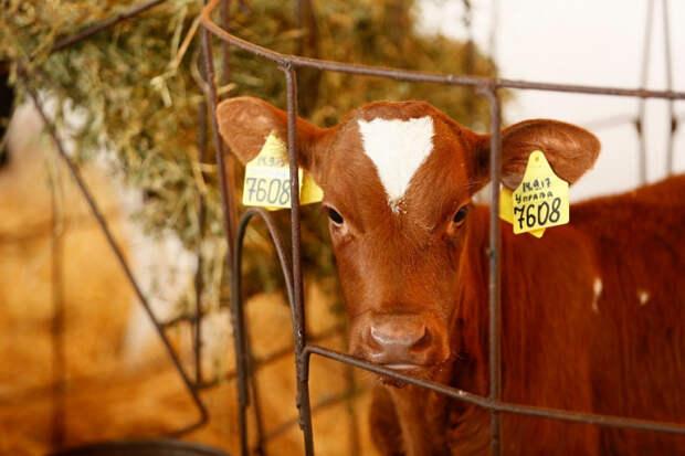На Кубани построят первые в России селекционно-генетические центры для молочного животноводства