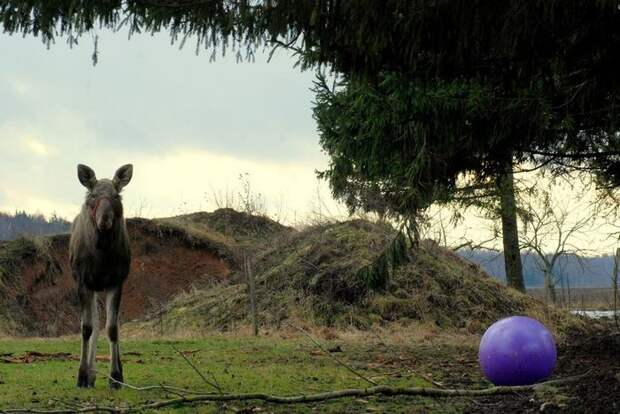 Парень спас маленькую лосиху, и теперь она приходит к нему из леса каждый день