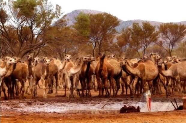 Одичавшие верблюды.