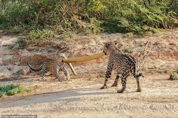 """Но потом началось """"перетягивание каната"""" Фото животный мир, битва животных, дикие животные, добыча, охота, фотограф, ягуары"""