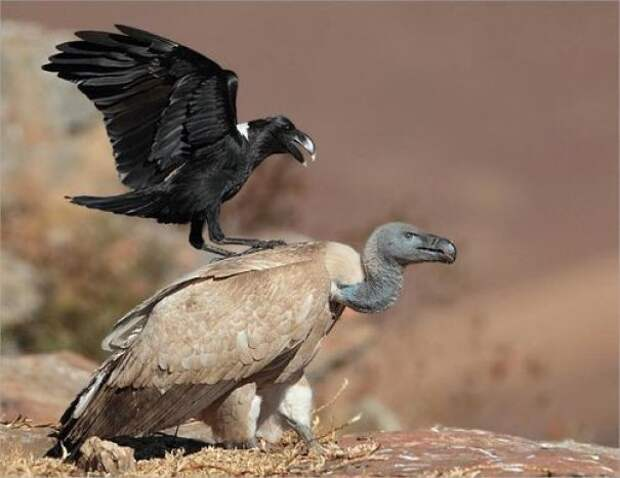 """Ворона подстрекает стервятника - """"Следуйте прямо, затем поверните направо.."""" вороны, животные, птицы, фото"""