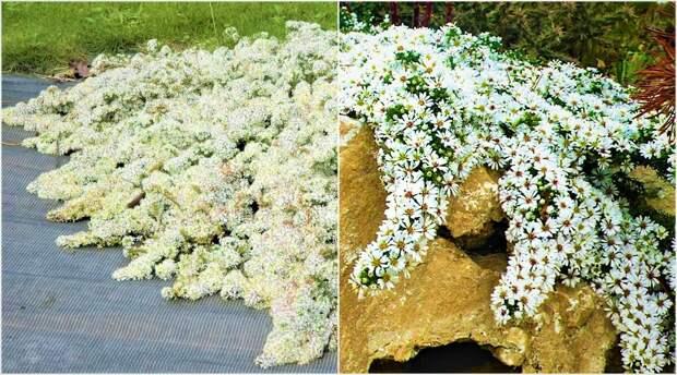 Белая пена цветов до самых морозов: многолетник, который прикроет неприглядные места на участке