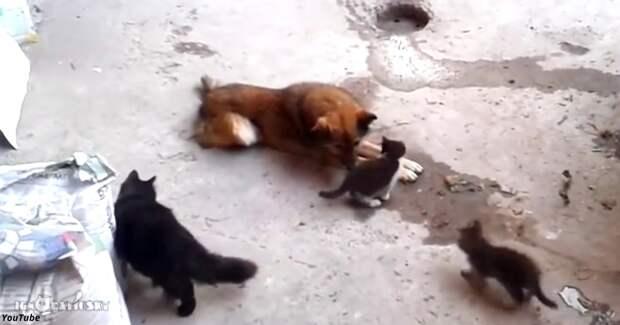 Кошка привела своих котят знакомиться с собакой, и... Это надо видеть!