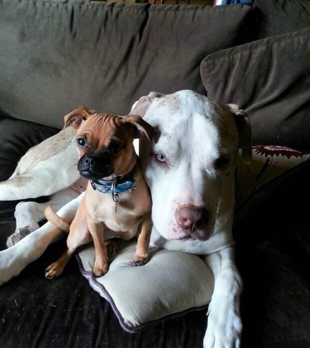 Огромный пес, которого бросили в приюте, теперь обнимает всех спасенных и напуганных песиков