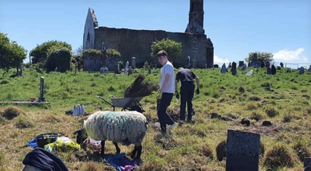 Овцы-археологи помогают ирландцам находить памятники