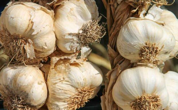 Сажаем чеснок с осени, чтобы летом получить больше урожая