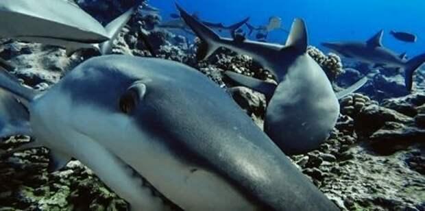 По всему миру исчезают рифовые акулы