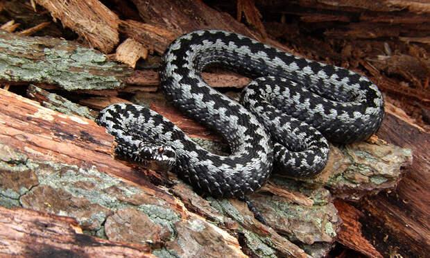 Укусила змея — отсосать яд? Первая помощь и 5 опасных ошибок