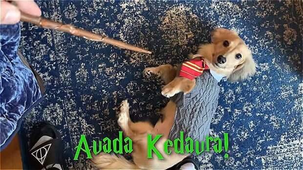 Авада Кедавра — заклинание смерти. Одно из трех непростительных заклинаний Дрессированная собака, гарри поттер, дрессировка, забавное видео, заклинания, собаки, трюки, хозяин и пес
