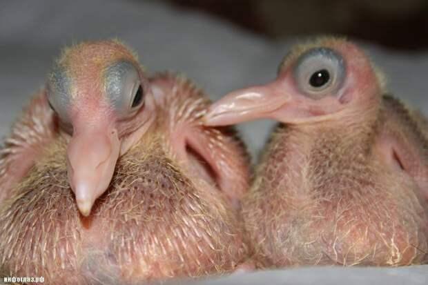 Почему мы никогда не видим голубят?