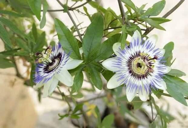 Пассифлора: фото, уход в домашних условиях, виды, выращивание из семян