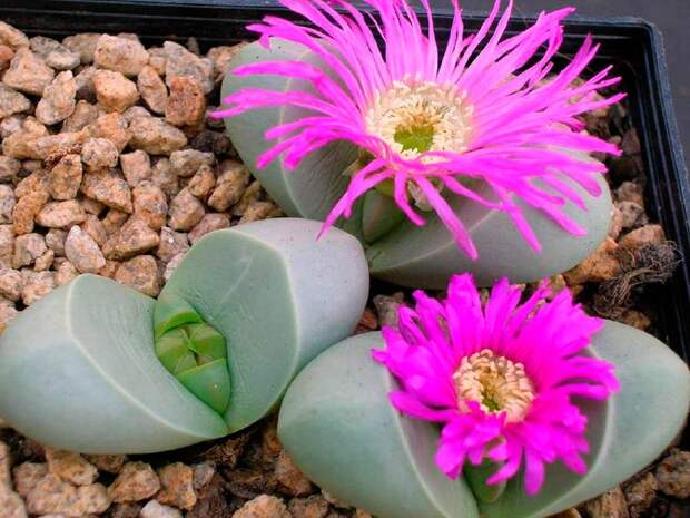 Комнатное растение Литопс (Lithops)