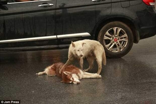 Собака пытается ″разбудить″ своего мертвого друга, сбитого автомобилем. До слёз!