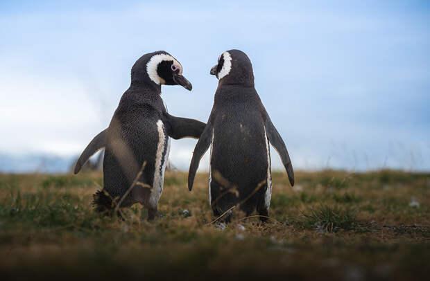 Отличный день для двоих магелланских пингвинов