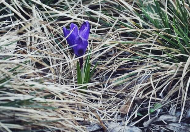 Первоцветы появились в парке «Северное Тушино»