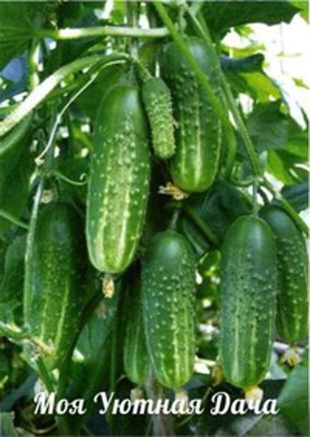 Простой и доступный Секрет выращивания большого урожая ОГУРЦОВ.