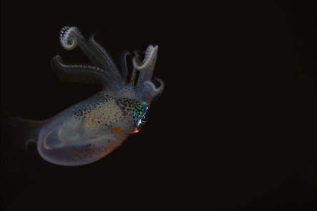 Каракатицевидный кальмар на Филиппинах