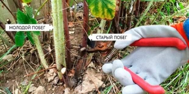 обрезка ремонтантной малины