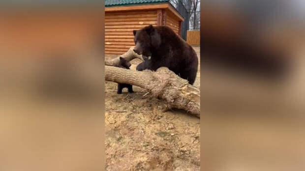 Медведица показала медвежонка посетителям зоопарка в Балахне