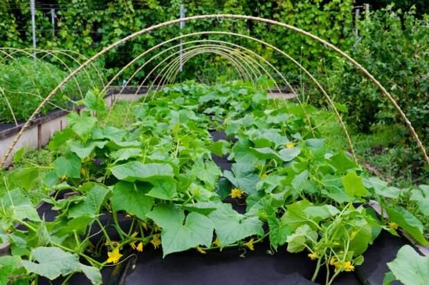 Выращивание овощей без нитратов