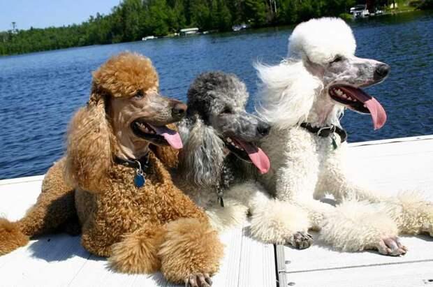 http://dogsecrets.ru/wp-content/uploads/2011/02/pudel2.jpg