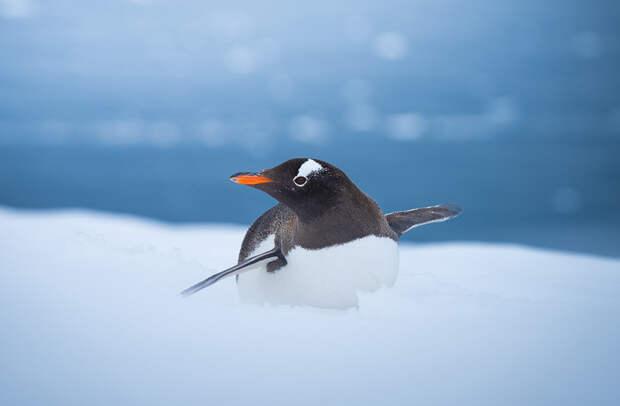 Субантарктические пингвины — третьи по величине среди пингвинов: достигают высоты 80 см и могут весить до 26 кг. По скользкому льду пингвины часто передвигаются, ложась на живот и отталкиваясь от поверхности крыльями и лапами
