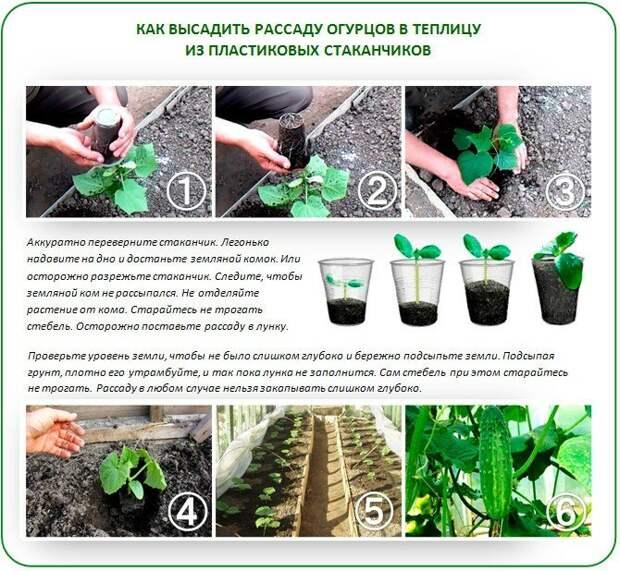 Секреты выращивания отменных огурцов