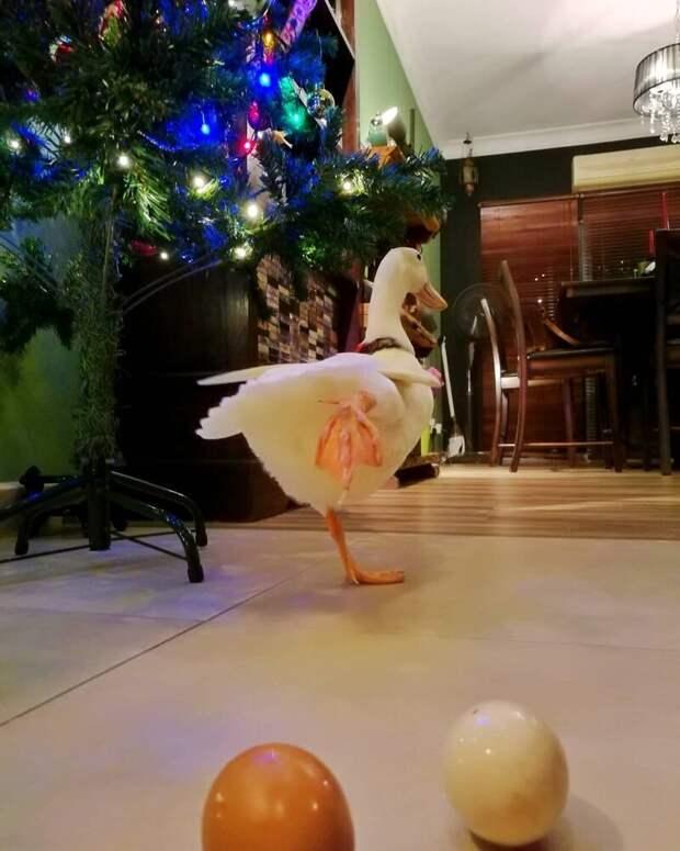 Пернатая красотка не только безгранично любит свою хозяйку, но и кормит домашний питомец, друг, животные, милота, утка, яйцо