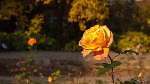 """Осенний уход за розой: 10 """"нельзя"""""""