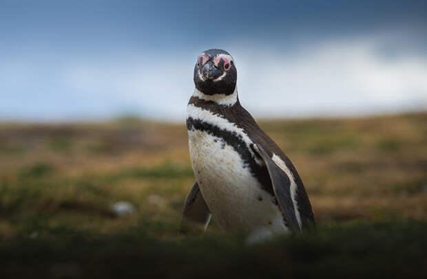 Пингвин с острова Магдалена. Пунта-Аренас, Чили