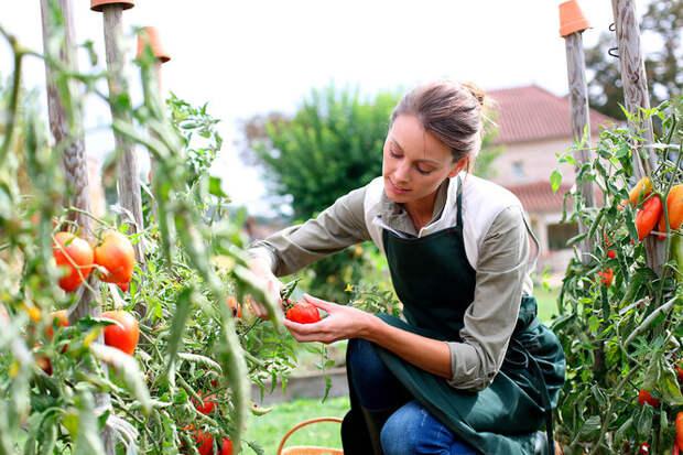 Больше урожая: как ухаживать за помидорами в августе?