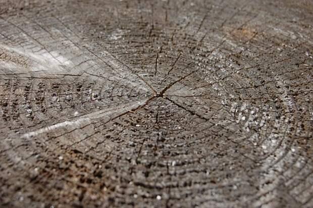 На Печорской вырубили черёмуху
