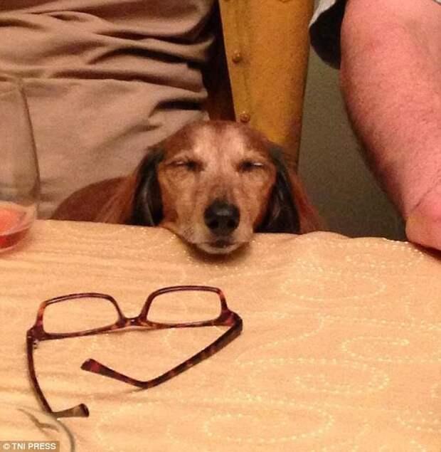 Когда обед запаздывает животные, мило, собаки, фото