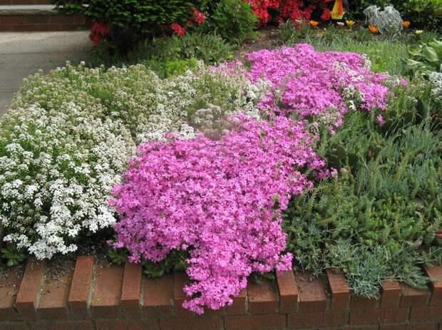 Разновидности низкорослых цветущих многолетников