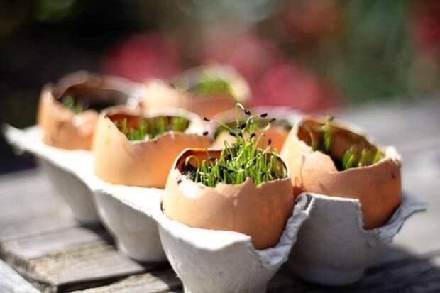 Яичную скорлупу можно с успехом использовать для выращивания рассады
