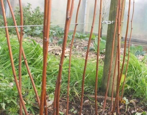 Кусты малины после обрезки