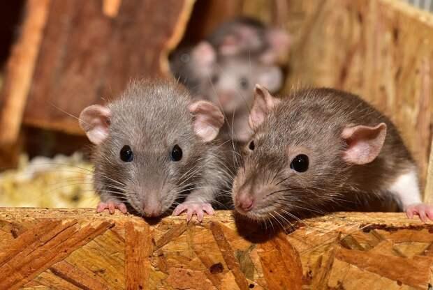 Ижевскую «управляйку» оштрафовали за расплодившихся крыс в подвале дома