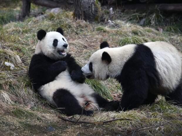 Панды в зоопарке Гонконга воспользовались карантином и спарились впервые за 10 лет