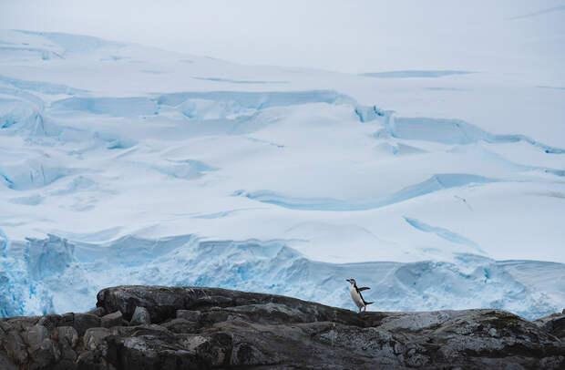 Антарктический пингвин на фоне ледника