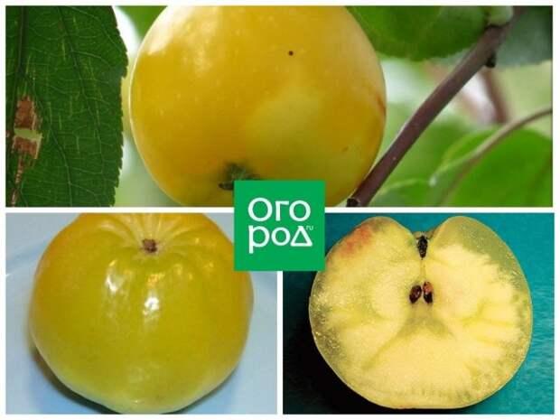 Стекловидность плодов