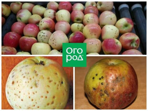Ямчатость яблок