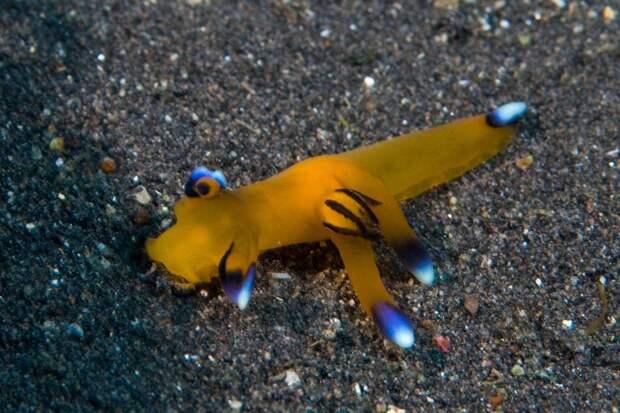 Забавный моллюск Thecacera Pacifica