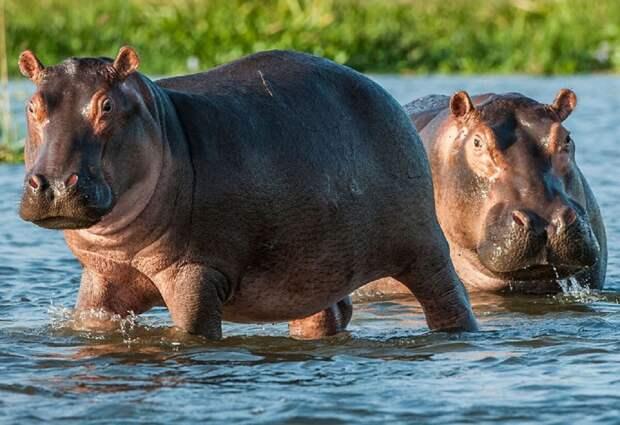 Это огромное парнокопытное травоядное животное весит около 3,5 тонн, при росте всего 1,5 метра. Несмотря на то что бегемот питается исключительно растительной пищей, тело у него довольно-таки упитанное. Особенностью являются мощные зубы, которые во время борьбы могут раскусить на две половины даже крокодила.