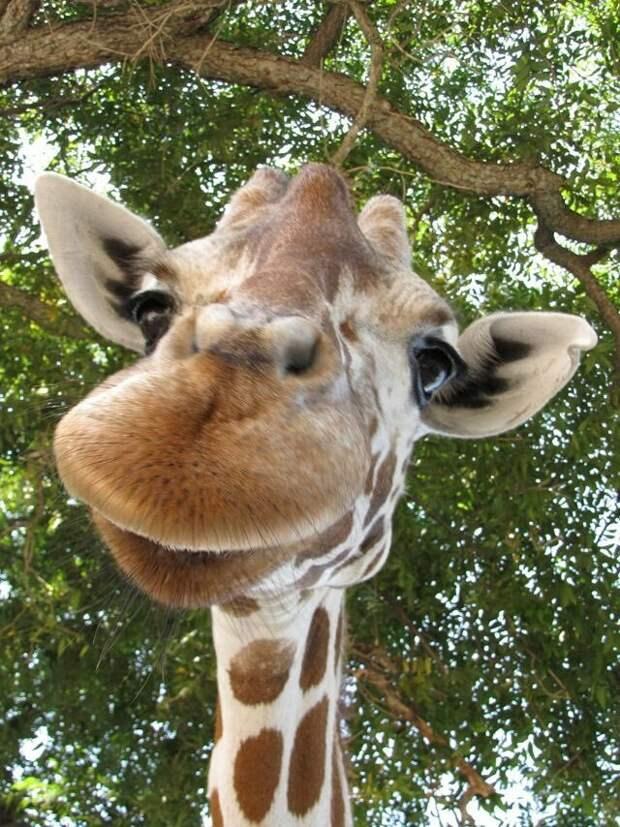 Жираф. Самое высокое млекопитающее во всем мире. Жирафу под силу поедать недоступную для других растительность. Животные благодаря своей длинной шее в высоту достигают 6 метров