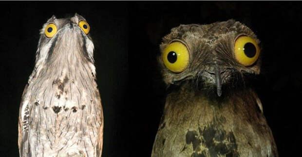 Лицо собложки: венесуэльская птичка поту строит глазки лучше, чем звезды