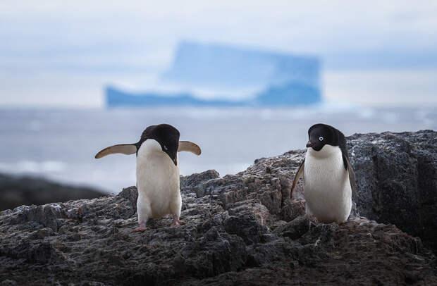Голубоглазые пингвины Адели