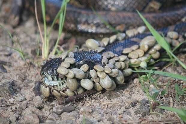 33. Змея в клещах животные, мир, подборка, природа, ужас, фото, явление