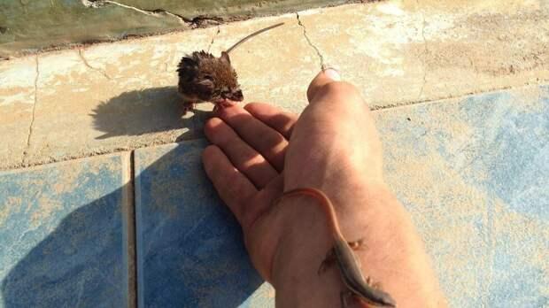 В бассейне из последних сил за жизнь цеплялись маленькая мышка и ящерица...